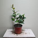 독백나무 수입식물 공기정화식물 소중품 30505530 