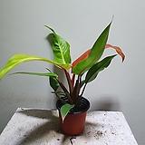 썬라이즈오렌지콩고 소품 수입식물 15253920 