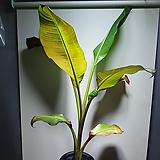 레드바나나 수입식물 묵은둥이  609019910 