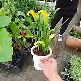 카라 꽃 인기식물 45~60cm 