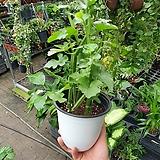 시서스 하늘이준 선물 포도과식물 25~35cm 