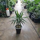 유카 수입식물 관엽식물 60~80cm 