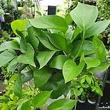 스킨답서스 행잉 중품 공중식물 35~45cm 포트포함높이 