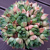 하월시아 (분포함) haworthia
