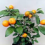 오렌지레몬나무(외목수형/1)-동일품배송 