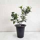 낑깡나무/공기정화식물/반려식물/온누리 꽃농원 