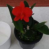 카틀레야.유희.예쁜진한주황색.(꽃형이 예뻐요).고급종.상태굿.잎과꽃이 귀엽고예쁩니다.상태굿.|