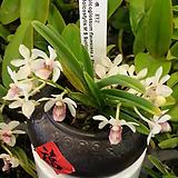 홀코스타일리스 선라이트.조설란교배.꽃대.고급스런품종.(흰색에핑크점박이립프).잎이 딱딱함.향기끝나줌니다~|