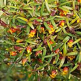 메디오칼카(해피필드).황색꽃.잎,꽃앙징맞고 예쁩니다.상태굿.건강함.상태굿.|