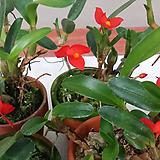 막실라리아 소프로니스트(발강색꽃).다시입고. 잎,꽃앙징맞고 예쁩니다.토분.인기상품.|
