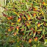 메디오칼카(해피필드).황색꽃.잎,꽃앙징맞고 예쁩니다.상태굿.건강함.상태굿.사이즈큽니다.|