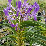 블루문.블루스타+반다교배.진한보라색의꽃.잎이 예쁩니다.아주좋은향기.고급종.|