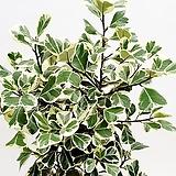 스윗하트고무나무|Ficus elastica