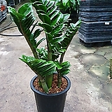 보석금전수 대품 개업식물 50~70cm Zamioculcas zamiifolia