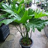 호프셀렘 셀럼 대품 공기정화식물 초특가 상품 70~100cm 