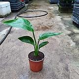극락조 소품 공기정화식물 25~35cm 