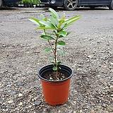 목향 소품 공기정화식물 15~20cm 