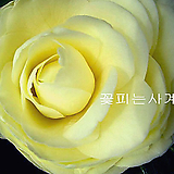 황동백(꽃대수형/A)-동일품배송 