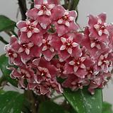 호야.메모리아(빨강색).꽃색깔예뻐요.향기좋은향.인테리어효과.공기정화식물.꽃눈이 많아요~|Hoya carnosa