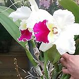 카틀레야.찰리.흰색에붉은립프꽃대형종.향기좋은향.고급종.잘않나오는 품종.인기상품.꽃대눈있어요.|