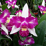 카틀레야.투톤진핑크.연핑크.굴피부작용.인테리어효과.색감예쁨.향이 아주 좋음.여성스러운꽃.꽃대있었요.인기상품.|
