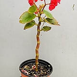 팝콘베고니아 (외목수형) Begonia