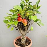 애기사과나무 (동일품배송) 