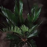 소철 공기정화식물 반려식물 대품 507021910 