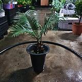 소철 대품 공기정화식물 최저가 50~70cm 