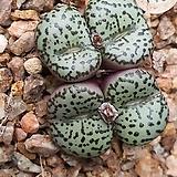 Conophytum obcordellum ssp ( 우르스프런기아눔)10립|