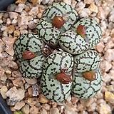 Conophytum obcordellum ssp 10립|