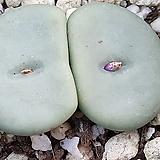 conophytum wettsteinii (일명빵떡이웨스트니 10립|
