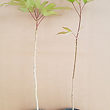 [전국농원] 황칠나무 실생2년 포트묘|