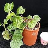 포도(베고니아)화분포함|Begonia