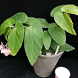 히스리(베고니아)화분포함|Begonia