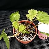 쌍띠레이스(베고니아) Begonia