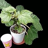 포도(베고니아) Begonia