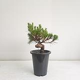 흑송/공기정화식물/반려식물/온누리 꽃농원 
