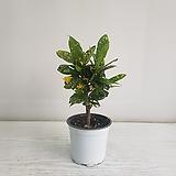 점박이크로톤/공기정화식물/반려식물/온누리 꽃농원 Codiaeum Variegatum Blume Var Hookerianum