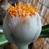 알비프로스.헤만투스.털군자란.밍크붓꽃(튤립형흰색꽃).꽃대있어요.몸 두개입니다~.|
