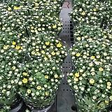 국화.가든멈.포트지름15cm.예쁜노랑색.노지월동짱!!.아주예뻐요.꽃송이가 큽니다.상태굿.|