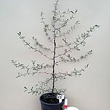 코로키아(외목수형/11)-동일품배송 