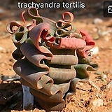 Trachyandra tortilis|