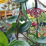 호야꽃 공기정화|