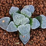 피그마에아 Haworthia pygmaea 63|Haworthia pygmaea
