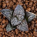 자금성(紫金城) Haworthia 66|