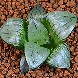 글라스 콤프토니아 Haworthia comptonia 68|