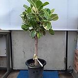뱅갈고무나무/높이105센치|Ficus elastica