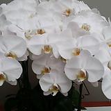 호접란.흰색대륜.꽃피었던상품.꽃형큰형.순백색.고급종.상태굿.