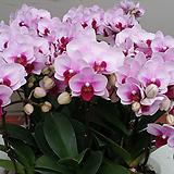호접란.엘레강스.꽃만개.핑크에붉은립프.고급종.상태굿.가격대비좋습니다~|